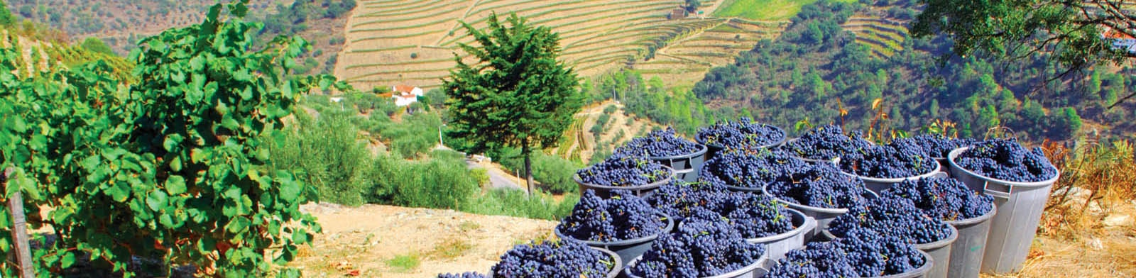 Douro Valley harvested grapes